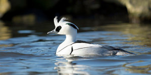 Photographing The Smew