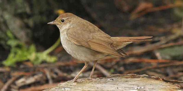 thrush nightingale
