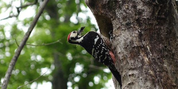 white backed woodpecker