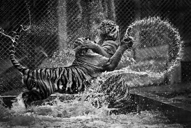 Tigers, Dan Sakal