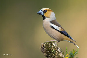 Pin-Sharp Hawfinch Image Awarded Photo Of The Week Accolade