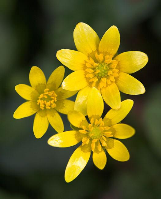 Celendine, Ranunculus ficaria