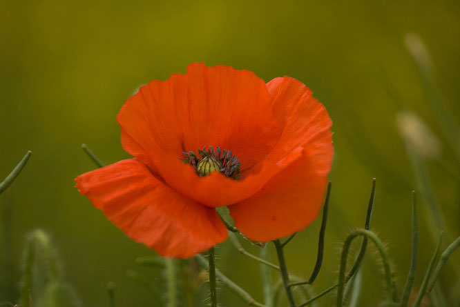 Poppy photography tips and shot suggestions mightylinksfo