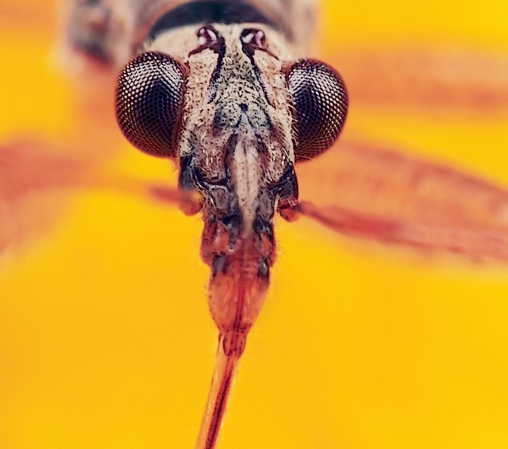 huntingbug