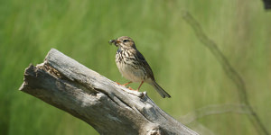 Ready To Photograph The Tree Pipit?