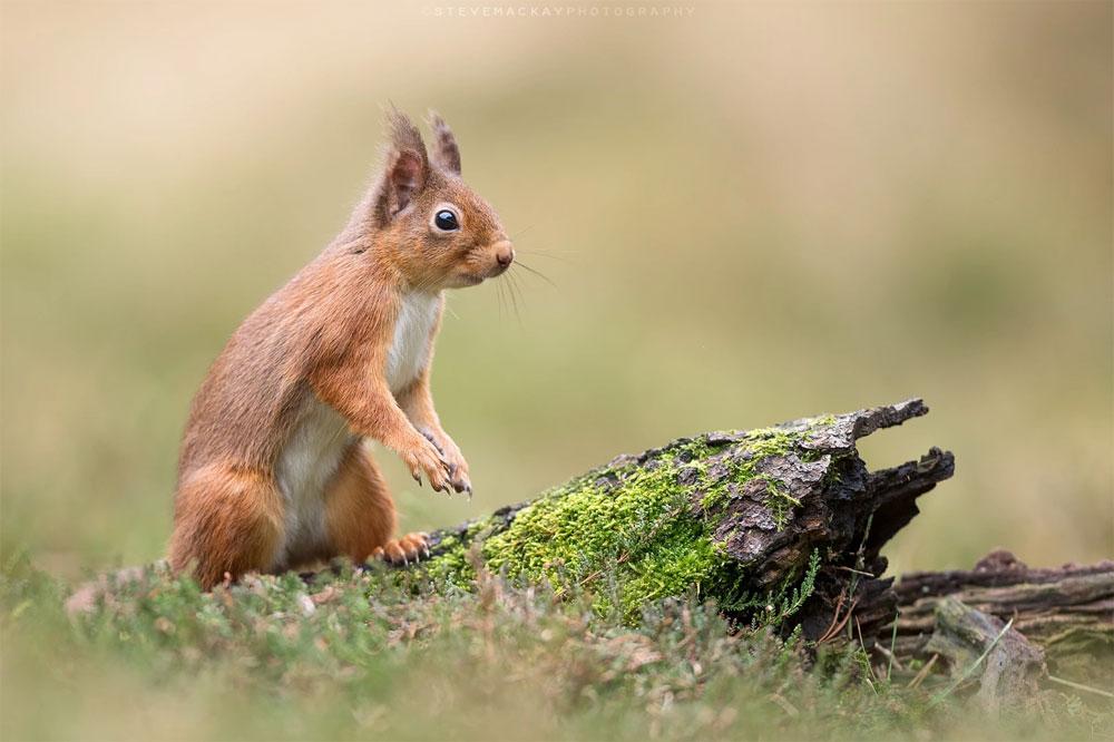 Red Squirrel POTW