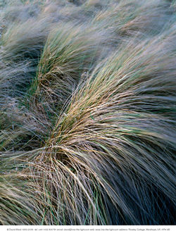 Marram grass by David Ward