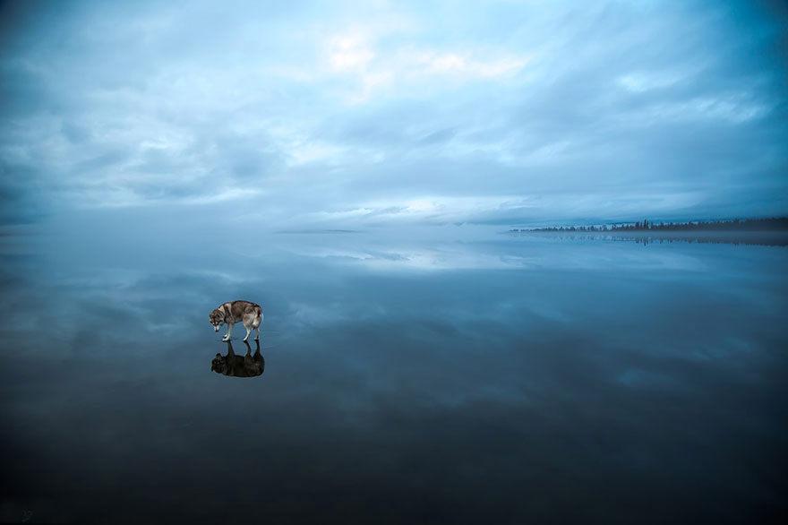Fox Grom Huskies on lake