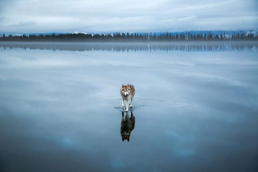 Fox Grom husky dog on lake