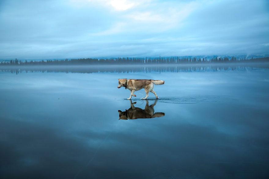 Fox Grom siberian husky on lake