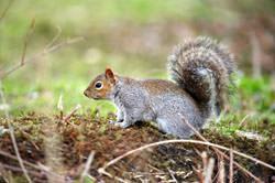 Sigma 100-300mm f/4 EX DG IF HSM squirrel picture