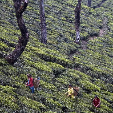 Sikim tea pickers