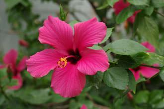 SMC Pentax-FA 77mm f/1.8 Limited Lens Tropical Flower