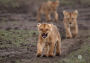 Thumbnail : Snarling Lion Cub Portrait Wins Photo Of The Week