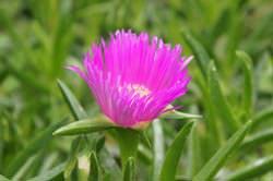 Sony NEX-5 purple flower