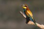 Thumbnail : Striking Image of Bee-Eater Awarded POTW