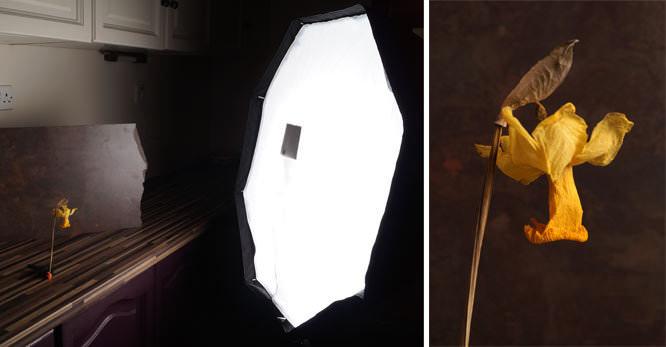 Strobeam Softbox used to photograph a Daffodlil