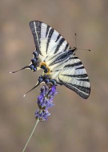 Stunning Swallowtail Image Awarded POTW Accolade