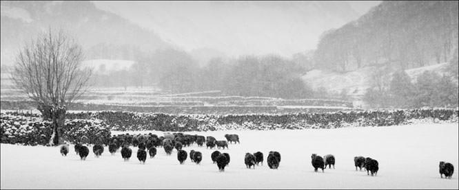 Sheep in snow, Langstrath