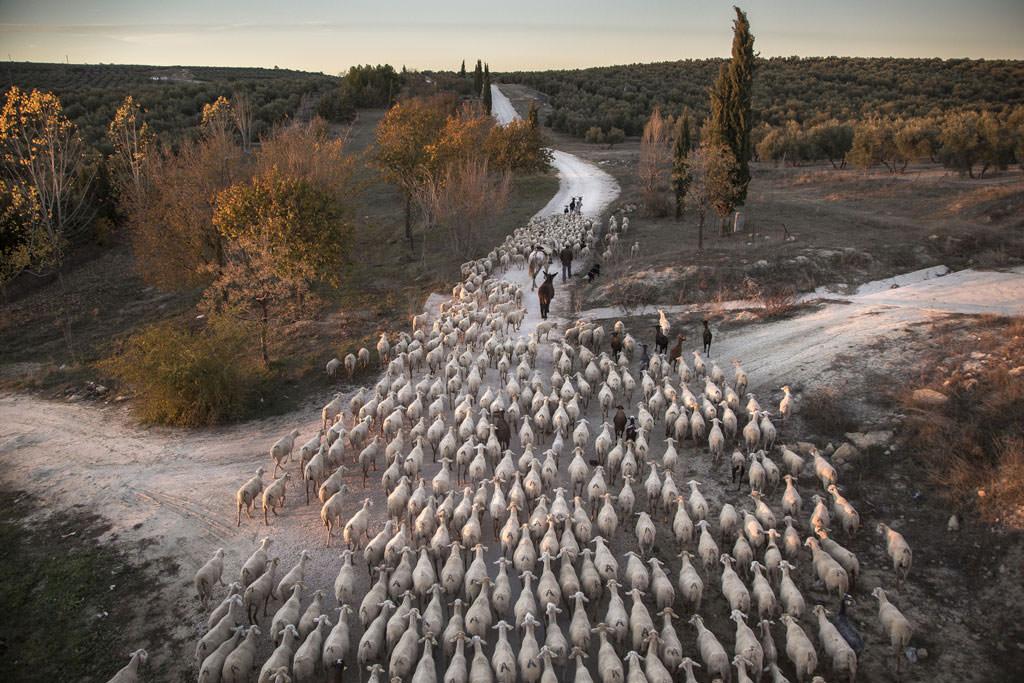 Transhumance in Spain