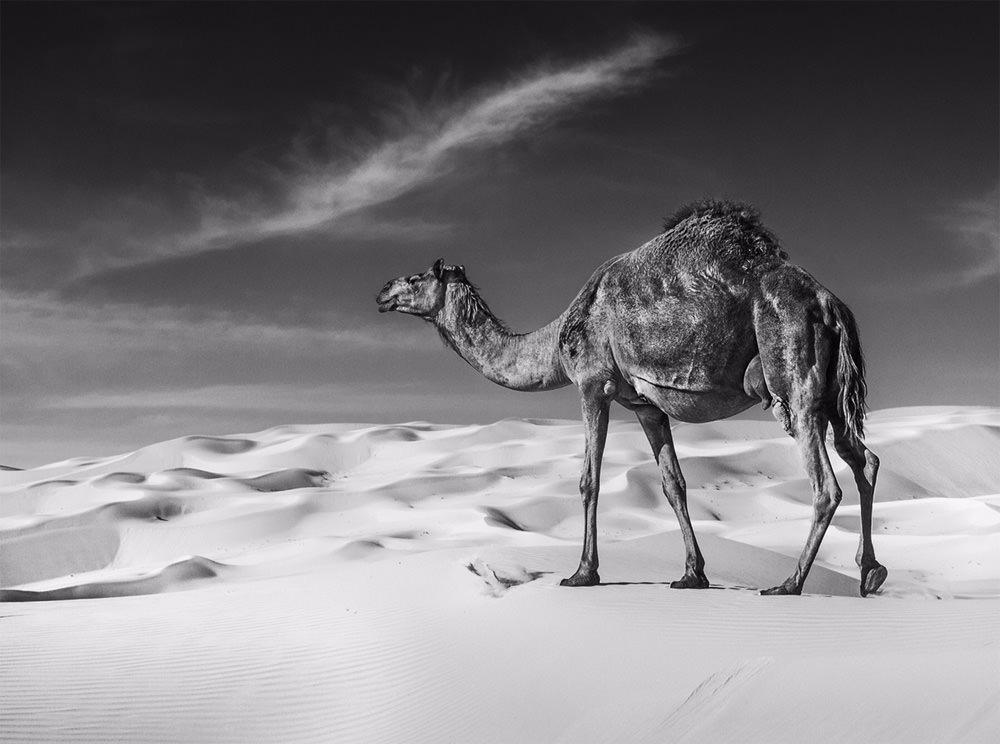 David Yarrow camel