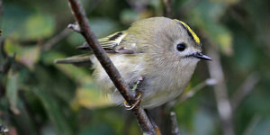 The Goldcrest Quest