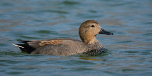 Tips For Photographing The Gadwall Duck