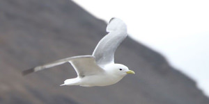 Tips For Photographing The Kittiwake