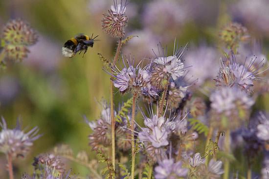 bee pollinating flower, Hope Farm