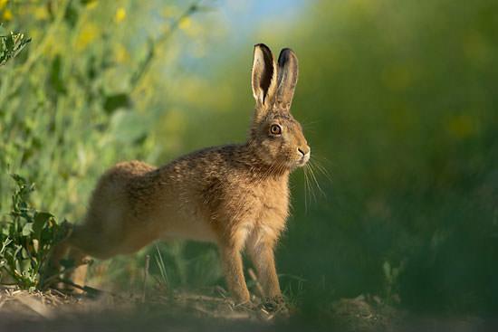 brown hare running across arable field