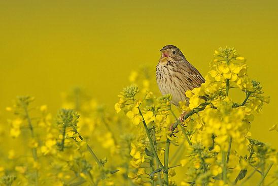 corn bunting singing in field of oil seed rape