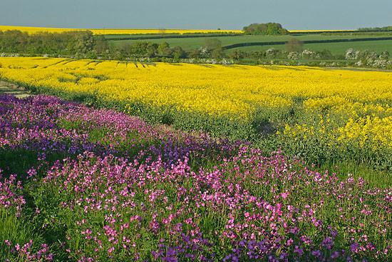 Spring flowers and oil seed rape, Hope Farm, Cambridgeshire