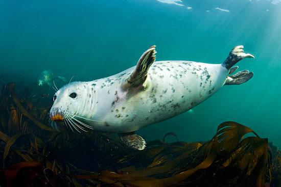 Grey seal, The Farne Islands