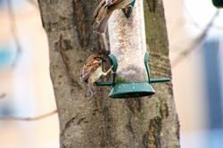 Tokina AT-X 840 AF D 80 - 400mm f/4.5-5.6 Sparrows feeding