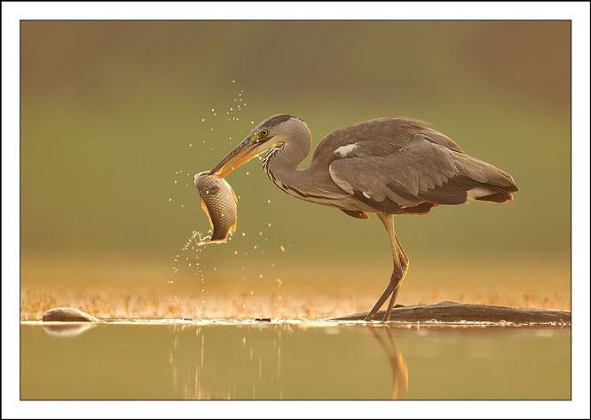 Heron by Brian Scott
