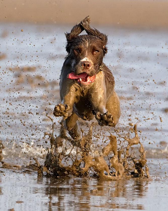 Low flying Spaniel by John_Wannop