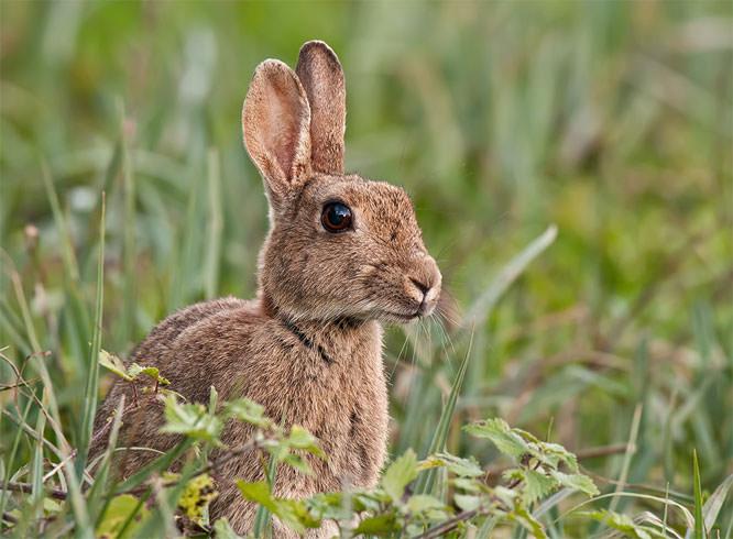 Alert Bunny