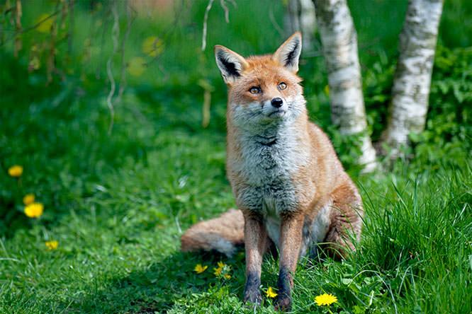 Red Fox jackyp