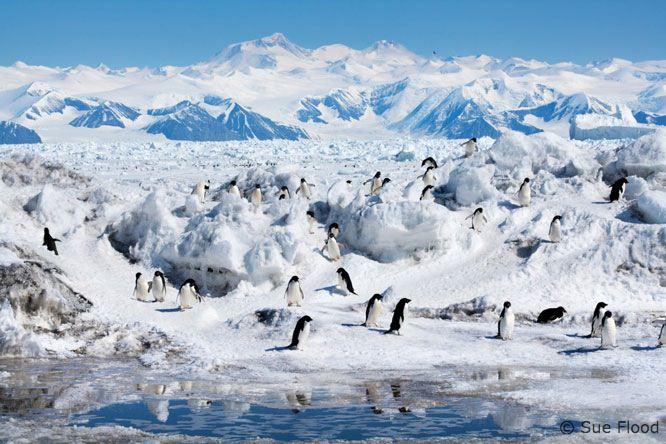 Crabeater seals at edge of ice in Antarctic