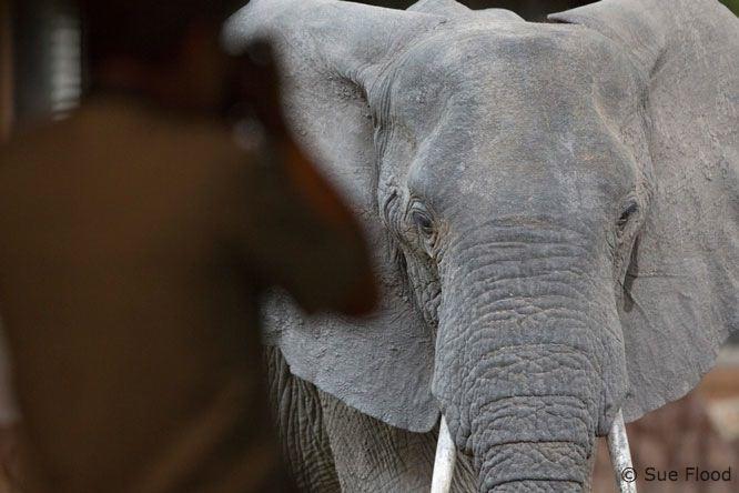 Man photographing elephant at Mfuwe Lodge, Zambia