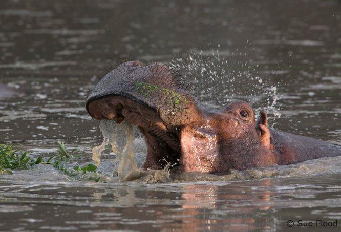 Hippo yawning - Mfuwe Lodge, Zambia