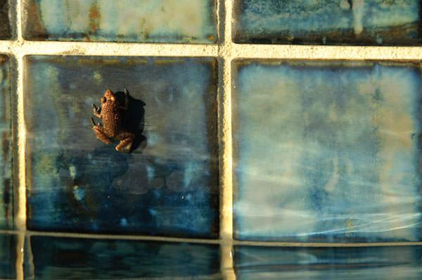 Frog poolside