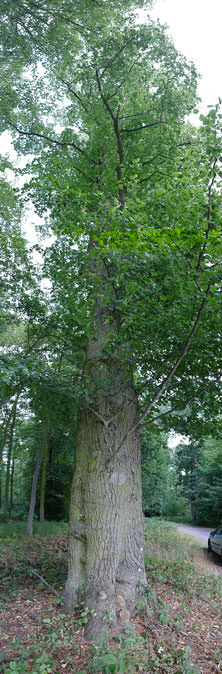 panoramic tree