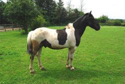 Vertus fluid mask 3 horse image