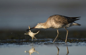 Wader Catching Crab Awarded POTW Accolade