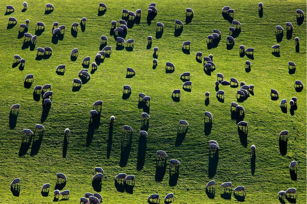 David Clapp sheep