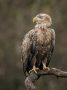 Thumbnail : White-Tailed Eagle Portrait Awarded POTW Image