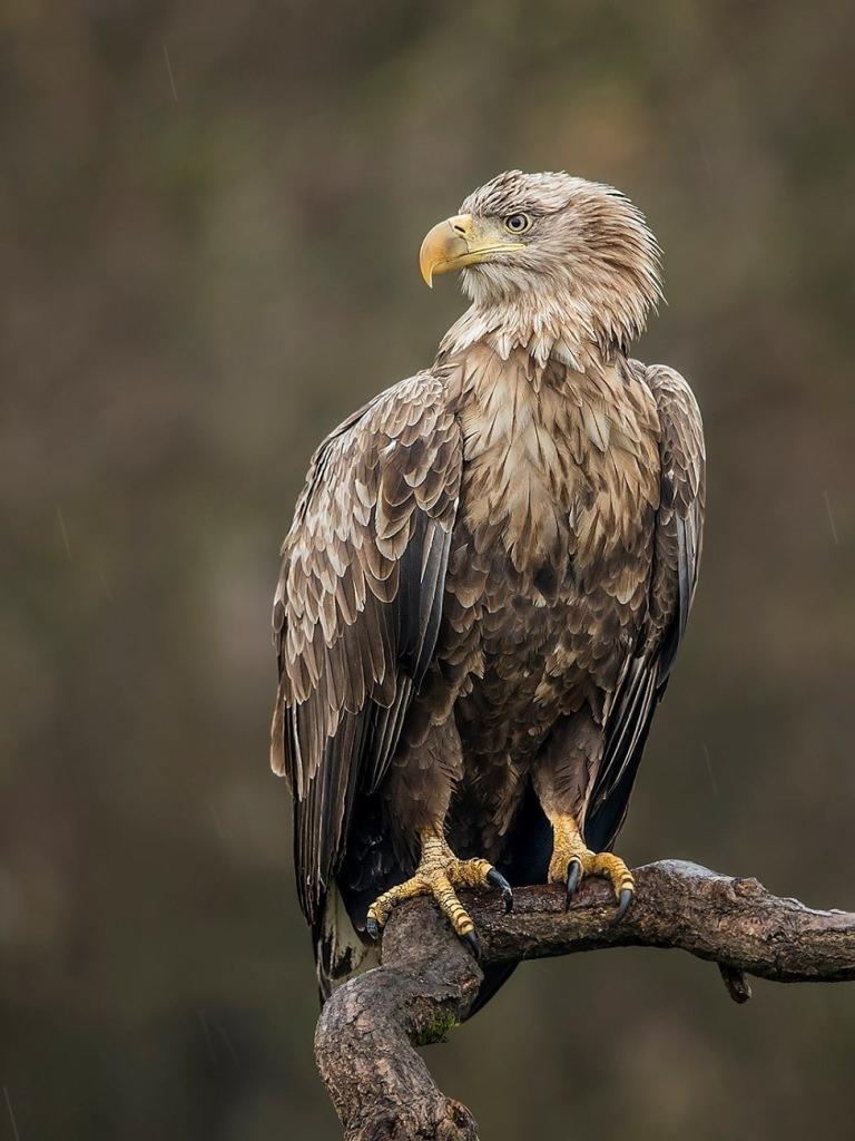 White-Tailed Eagle Por...