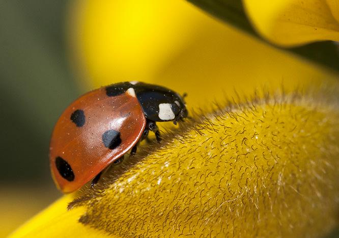 JonnyNI ladybird