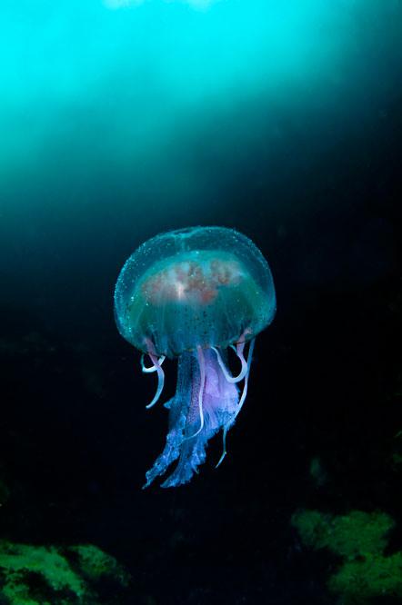 Richard Shucksmith - 'Jellyfish in the Blue Sea of Sula Sgeir'